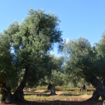 Details and olive trees for sale near Ostuni